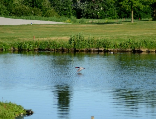 Vogelen op Golfbaan Delfland