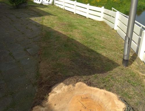 Markante boom in Maasland gekapt